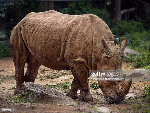 the rhino and the starling - java stock pictures, royalty-free photos & images