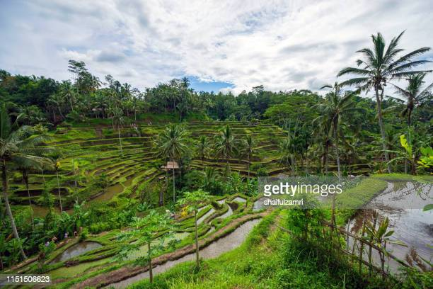 the rice fields of tellalagang, bali, indonesia. - tegallalang stock photos and pictures
