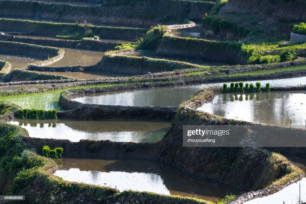 The rice seedling and the terraced fields : Stock-Foto