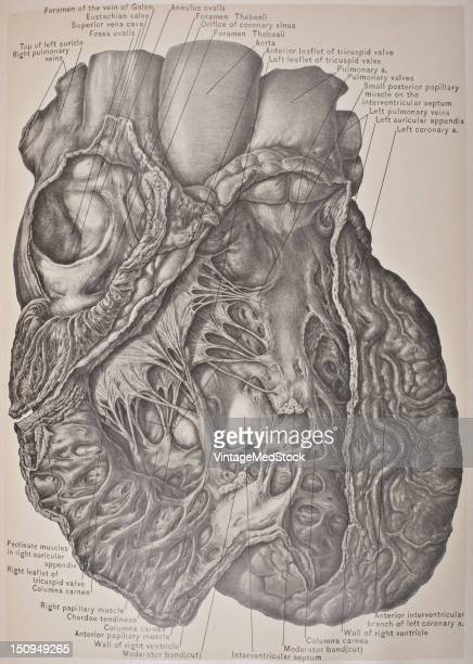 The right ventricle is one of four chambers in the human heart 1903 From 'Surgical Anatomy The Treatise of the Human Anatomy and Its Applications to...