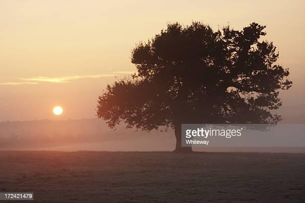 ピンクの日の出を深みのあるオークの木 - リッチモンド公園 ストックフォトと画像