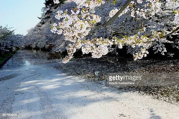 The river is completely covered with cherry flower petals during The Hirosaki Cherry Blossom Festival at Hirosaki Park on May 5 2005 in Aomori...