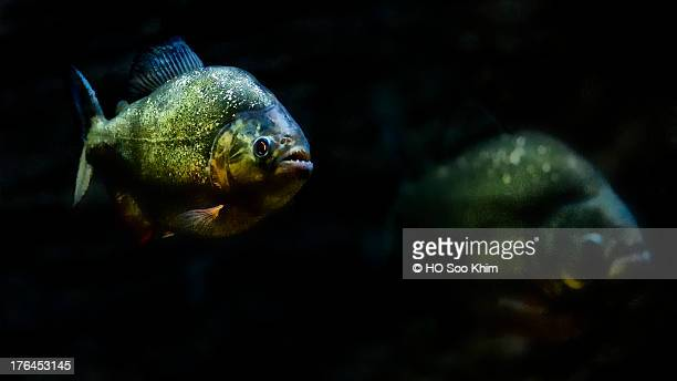 The River Safari : Red-bellied Piranha