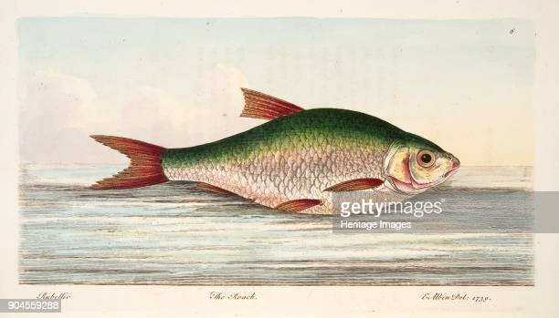 The Roach from A Treatise on Fish and Fishponds pub 1832