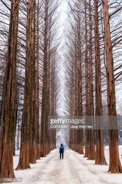the road where metasequoia trees standing along in winter - gangwon province stock pictures, royalty-free photos & images