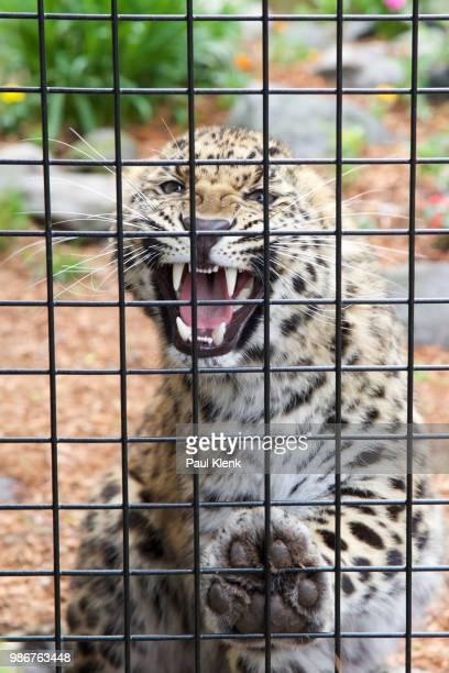 the roar! - animales en cautiverio fotografías e imágenes de stock