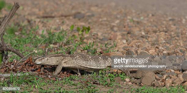 White Throated Monitor Stock Photos And Pictures