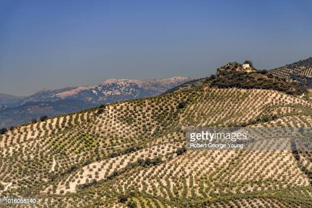 the rolling countryside covered with an abundance of olive trees near priego de córdoba, spain. - スペイン コルドバ市 ストックフォトと画像