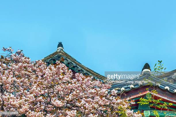 The roof with Korean traditional roof tiles in cherry blossoms