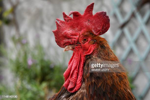 The rooster Maurice stands at SaintPierred'Oleron in La Rochelle western France on June 5 2019 A French court is set to rule on June 6 2019 on...