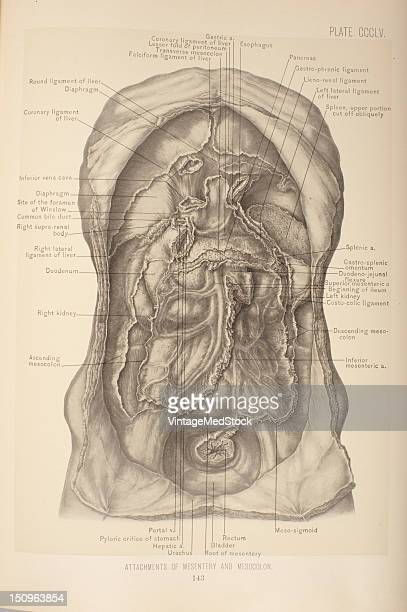 The root of the Mesentery is about six inches in length and is attached to the posterior wall of the abdominal cavity 1903 From 'Surgical Anatomy The...