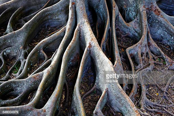 the roots of a banyan tree - banyan tree stock pictures, royalty-free photos & images