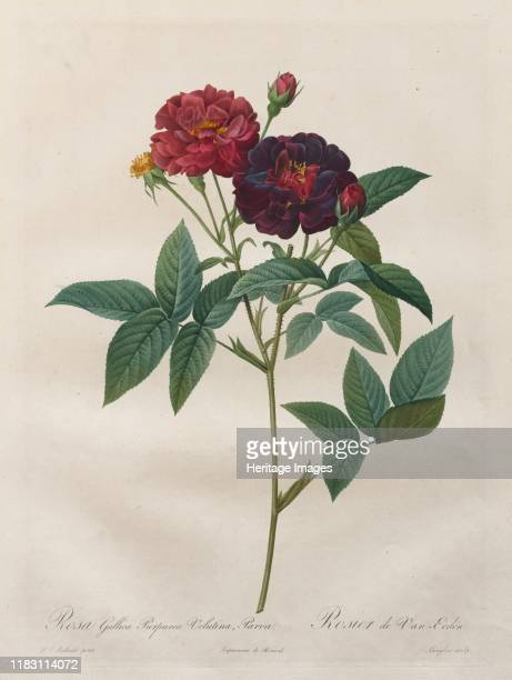 Rosa Gallica Purpurea Velutina Parva 18171824 The subtle tones in Redoutés paintings nearby were faithfully captured by engravers but the prints do...