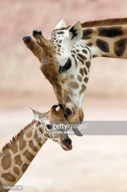 The Rothschild's giraffe offspring Jamila stands next to her mother Juji at the zoo in Hanover Germany 07 May 2013 The giraffe was born on 21 April...