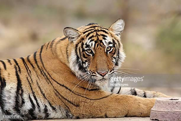 The Royal Bengal Tiger in Ranthambhore National Park Rajasthan India