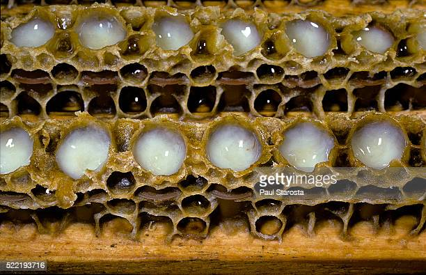 the royal jelly in queen cups - queen bee stock pictures, royalty-free photos & images