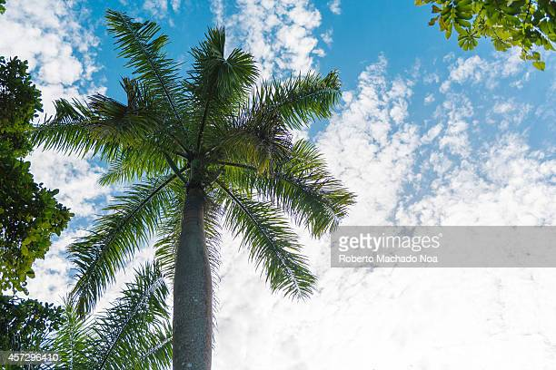 The Royal Palm Tree is the Cuban National Tree a symbol of the Caribbean country The Royal Palm abounds in the Cuban countryside