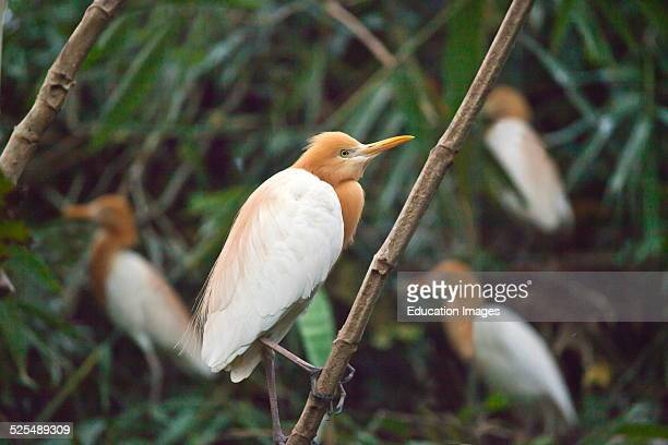 The Sacred Cattle Egrets Of Petulu Come To Roost And Nest In The Trees Each Night Ubud Bali