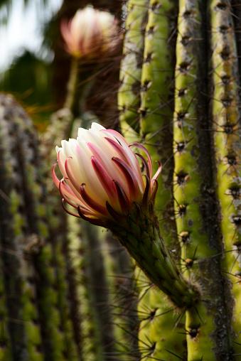 The saguaro (Carnegiea gigantea) - gettyimageskorea