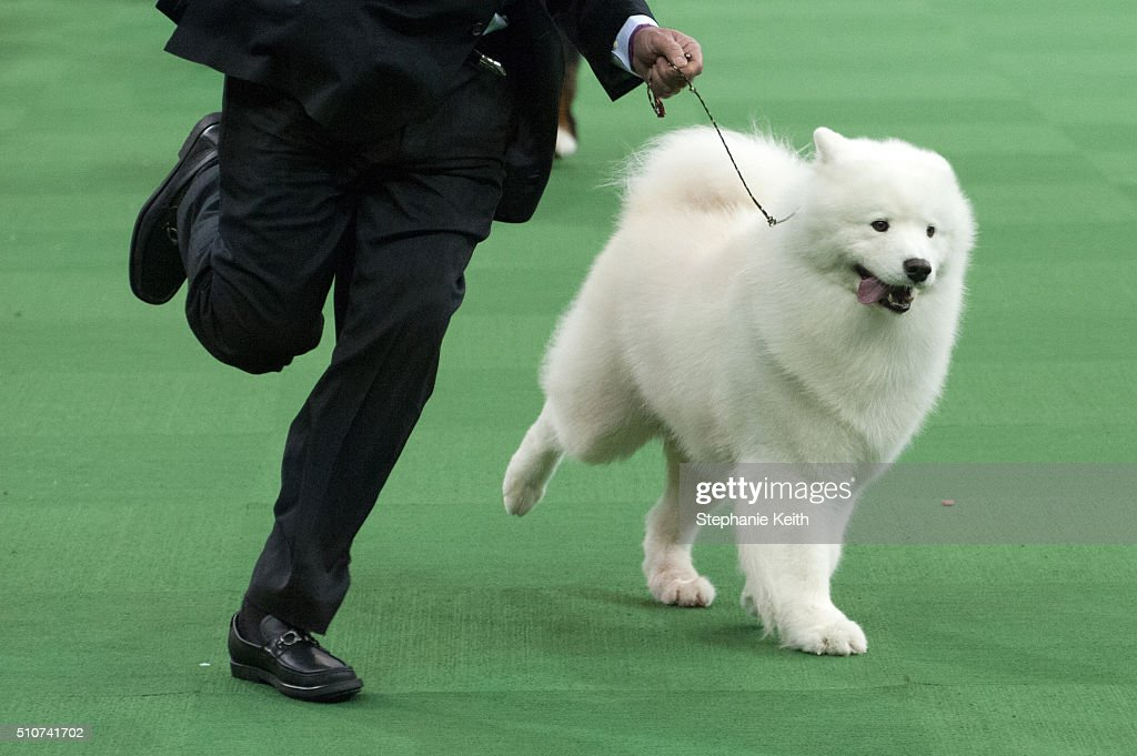 Annual Westminster Kennel Club Dog Show : News Photo