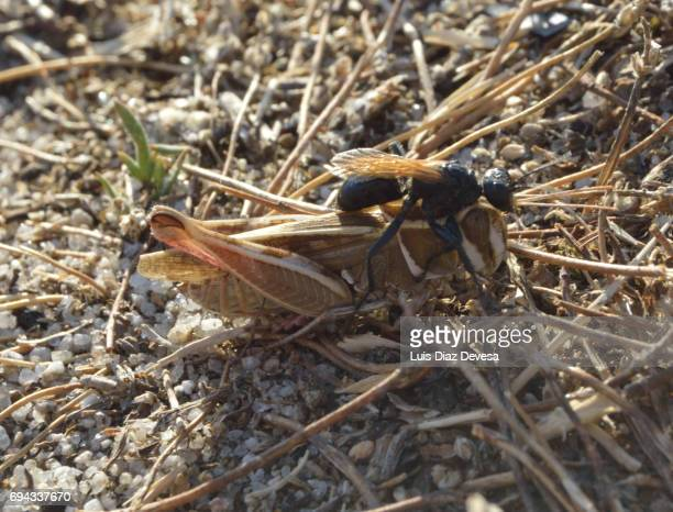 The sand wasp moves the grasshopper into the nest