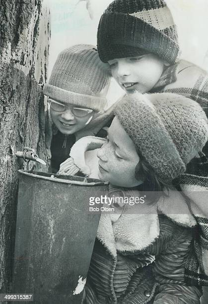 The sap's starting to flow It's maple sugar time again and the trees are being tapped for sap Three youngsters from Ellwood Public School in Bolton...