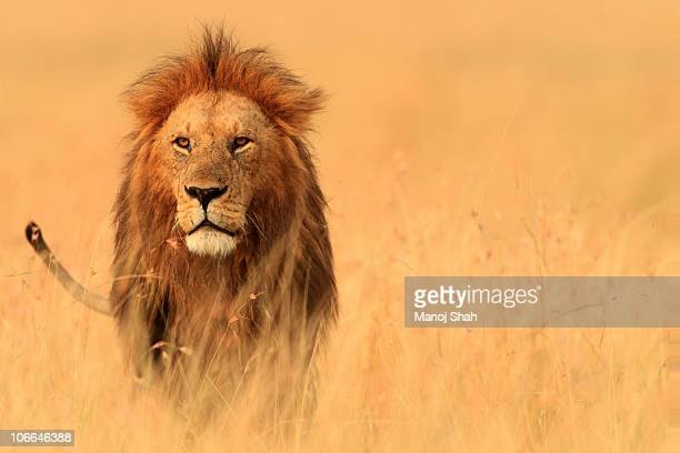 the savannah king - animals in the wild stock pictures, royalty-free photos & images