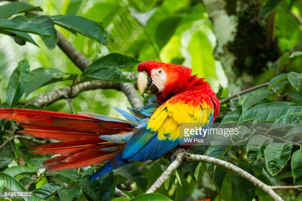 The Scarlet Macaw, Ara macao, is a large, colorful parrot found from Mexico to Brazil. Shown preening here in Costa Rica.