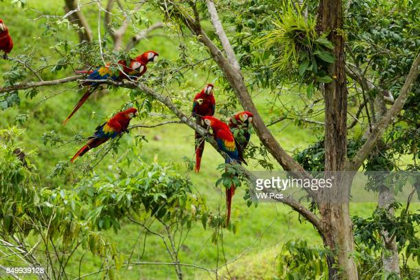 The Scarlet Macaw, Ara macao, is a large, colorful parrot found from Mexico to Brazil. This flock was photographed in Costa Rica.