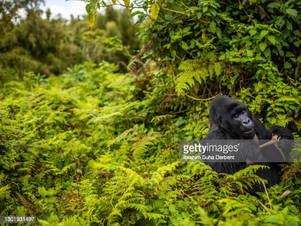 the scene of silverback mountain gorilla (gorilla beringei beringei) feeding in volcanos national park, rwanda - erbivoro foto e immagini stock