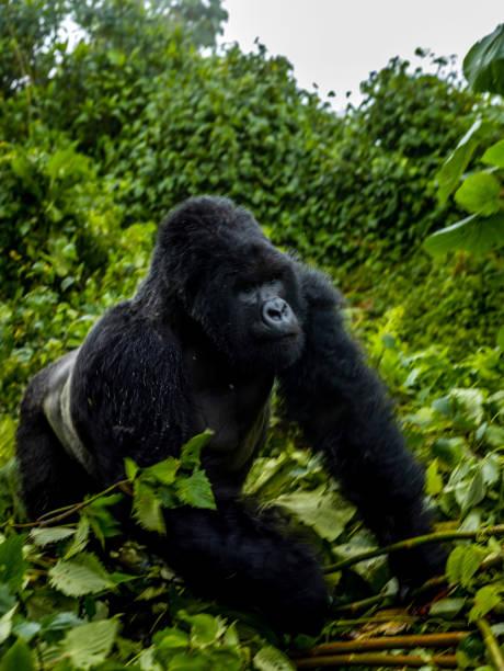 The scene of silverback mountain gorilla (Gorilla beringei beringei) moving in the forest
