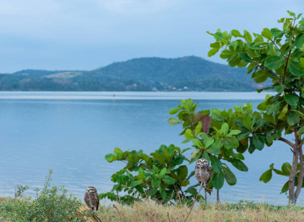 The scenery of the lagoon of Saquarema and two small owls, on the branches of the local vegetation.