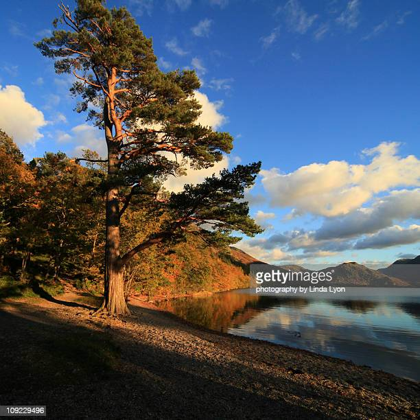 The Scots Pine Crummock Water