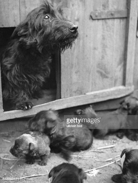 The Scottish Terrier from the breed of the family Hinrichsen a dog mother with their young 1931 Photographer Heinz von Perckhammer Published by 'Die...