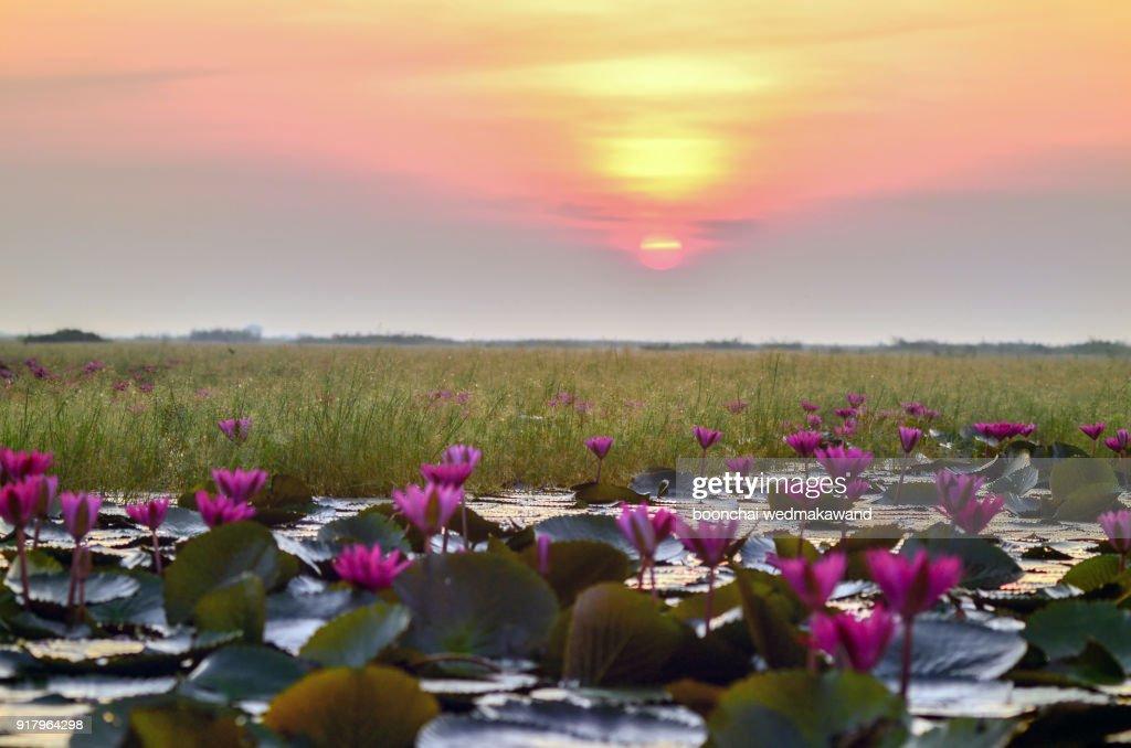 The sea of red lotus at Nong Han Lake national park, Udon Thani, Thailand : Stock Photo