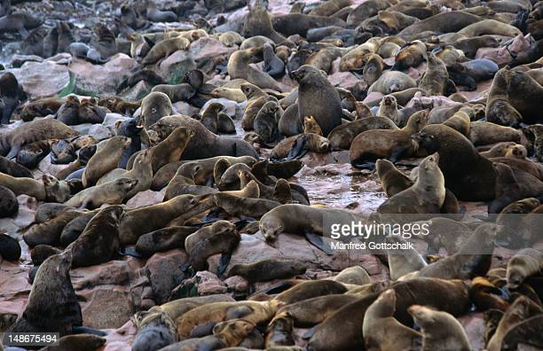 the seal colony at the cape cross seal reserve - rookery stock pictures, royalty-free photos & images