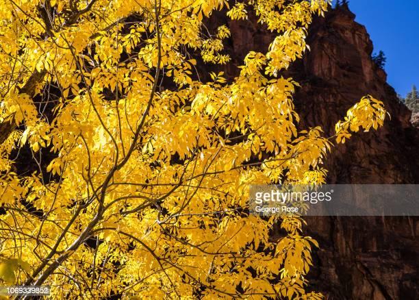 The seasons are beginning to change along The Narrows trail located adjacent to the North Fork of the Virgin River on November 6 2018 in Zion...