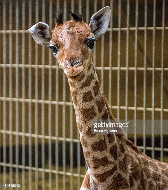 The second baby giraffe to be born at Tete d'Or zoo park looks out from his pen on February 27 2015 in Lyon France The baby giraffe was born at the...