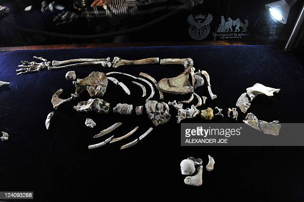 The 'Sediba Fossil' the remains of a hominin discovered by Professor Lee Berger an American who is a professor at South Africa's University of the...