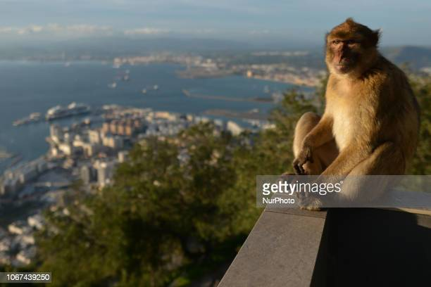 The semi-wild Barbary macaques, an integral feature in Gibraltar's tourism. On Friday, November 30 in Gibraltar.
