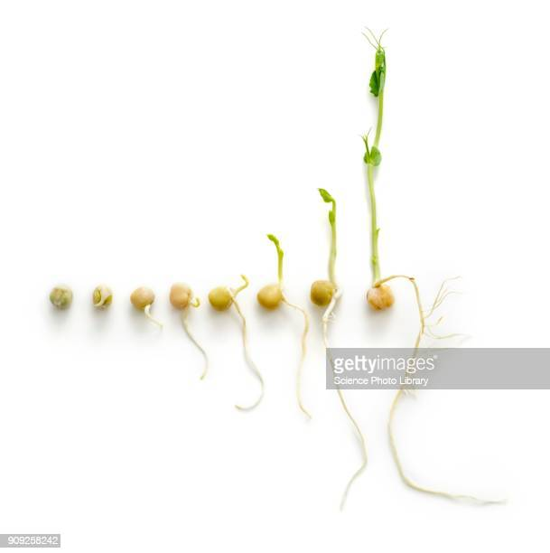 the seven day growth cycle of a sprouting pea - bean sprout stock pictures, royalty-free photos & images