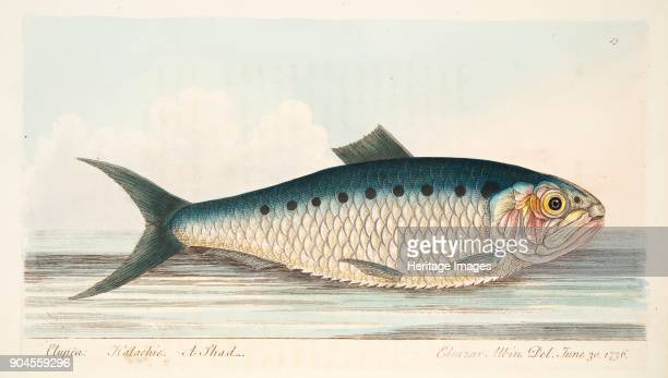 The Shad from A Treatise on Fish and Fishponds pub 1832