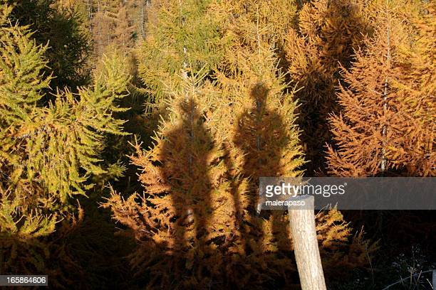 the shadow of two people on a larch forest - larch tree stock pictures, royalty-free photos & images