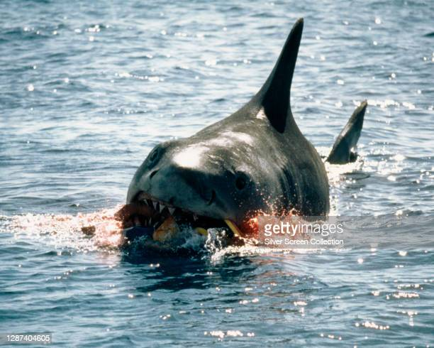 The shark bites through an inflatable lilo, having eaten young Alex Kintner in a publicity still from the blockbuster film 'Jaws', 1975.