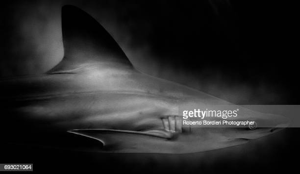 the shark - roberto bordieri stockfoto's en -beelden