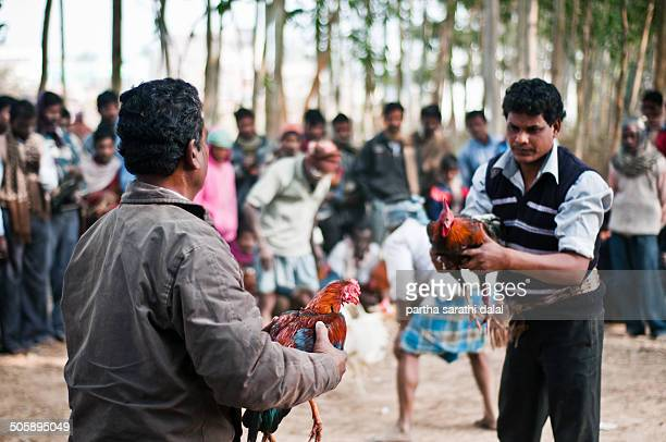 The sharp spurs on the leg of the rooster is seen during a cockfighting ritual on January 14, 2014 in Kotalpur Village, Bankura, Westbengal, India....