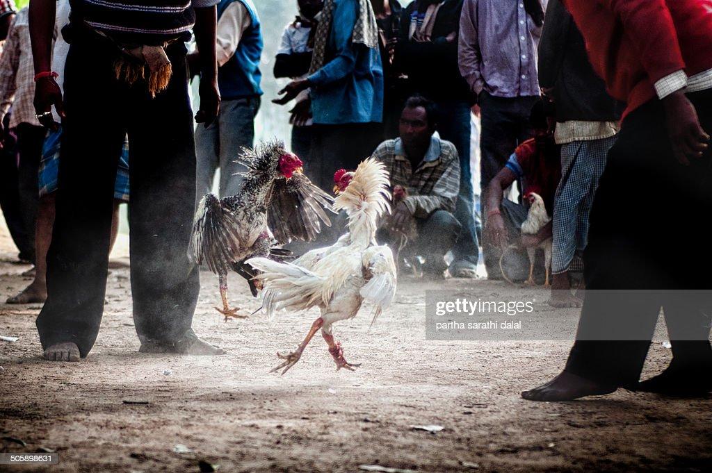 Cockfighting in India : News Photo