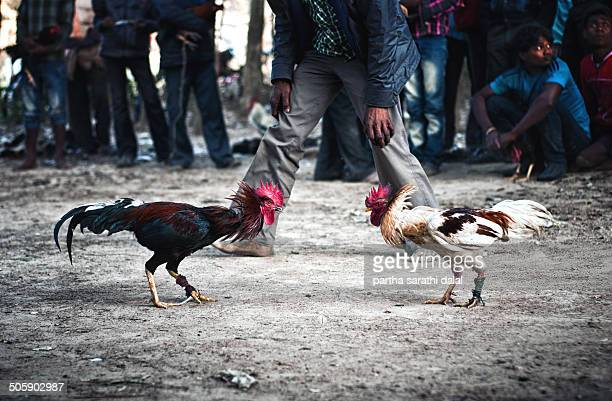 The sharp spurs on the leg of the rooster is seen during a cockfighting ritual on January 14 2014 in Kotalpur Village Bankura Westbengal India...