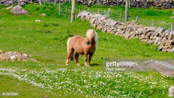 the shetland pony, a breed of pony originating in the shetland islands, scotland. - isole shetland foto e immagini stock