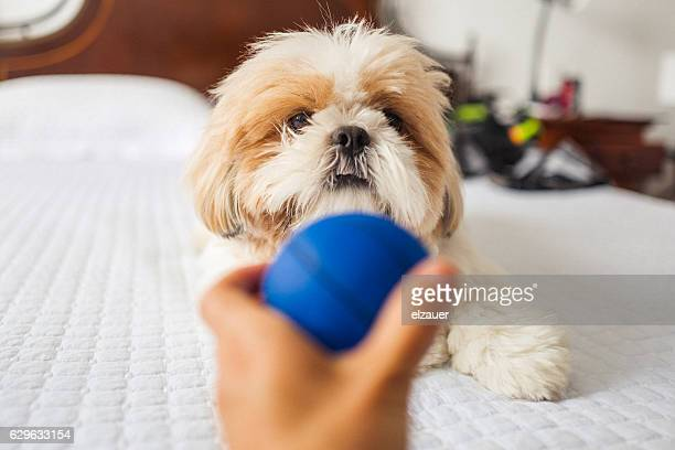 The Shih Tzu and the Ball